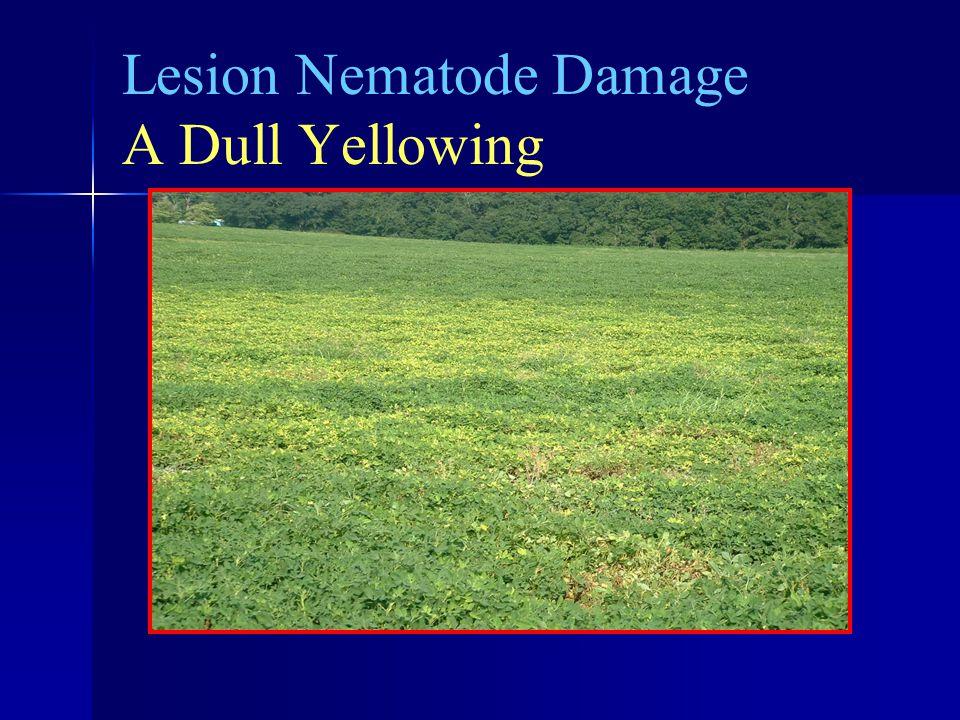 Lesion Nematode Damage A Dull Yellowing