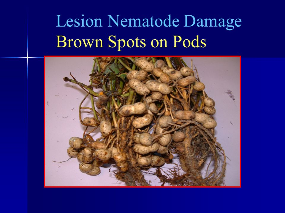 Lesion Nematode Damage Brown Spots on Pods