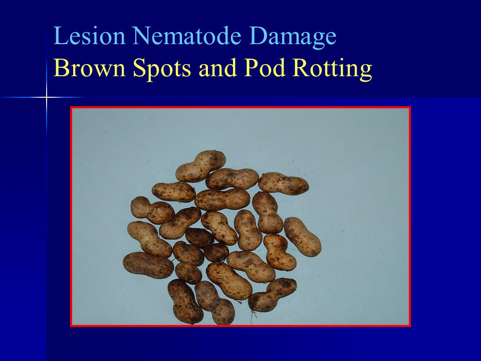 Lesion Nematode Damage Brown Spots and Pod Rotting