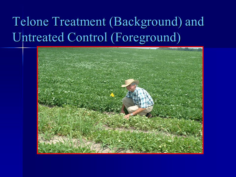 Telone Treatment (Background) and Untreated Control (Foreground)