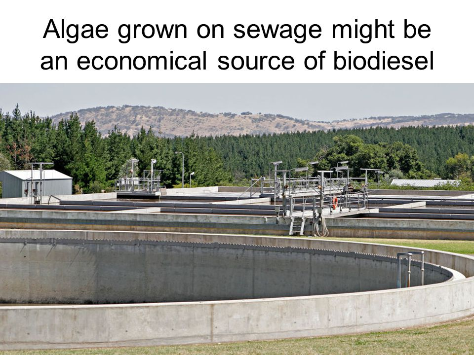 Algae grown on sewage might be an economical source of biodiesel