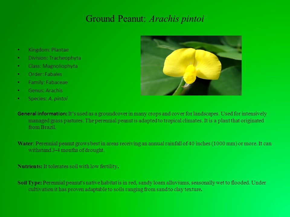 Ground Peanut: Arachis pintoi