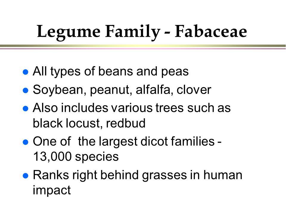 Legume Family - Fabaceae