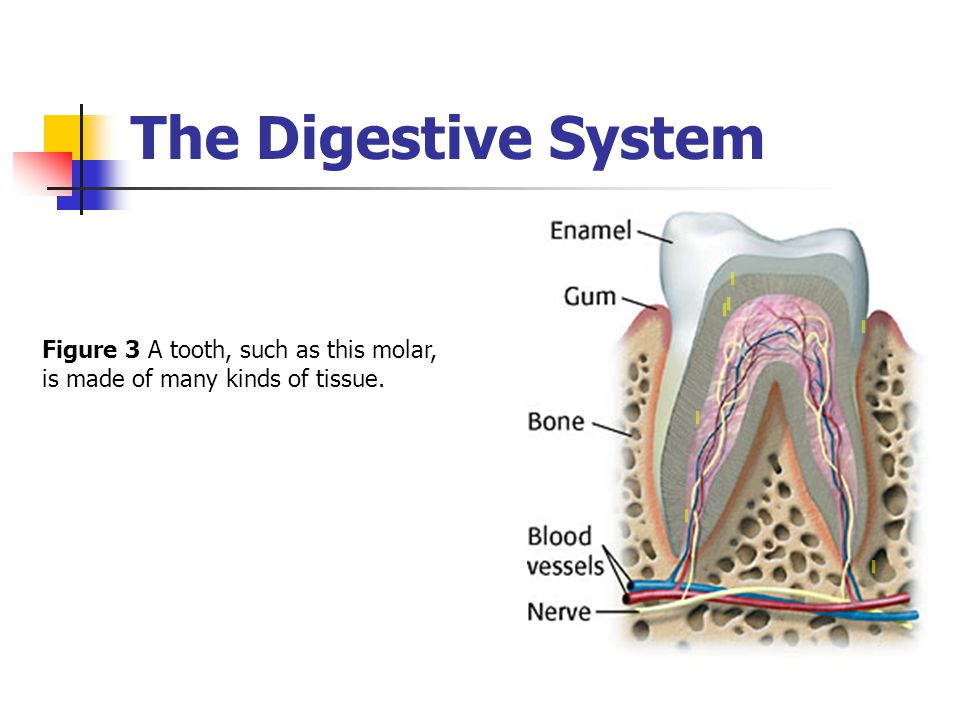 The Digestive System Figure 3 A tooth, such as this molar, is made of many kinds of tissue.