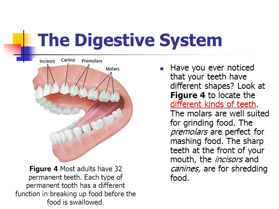 The Digestive System This Really Happened Ppt Download