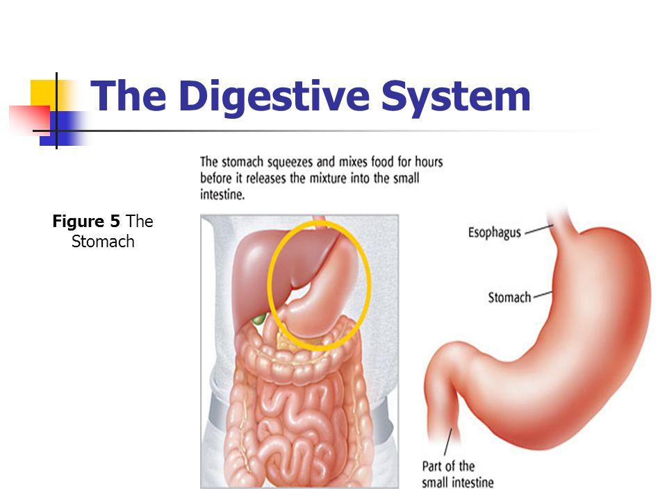 The Digestive System Figure 5 The Stomach
