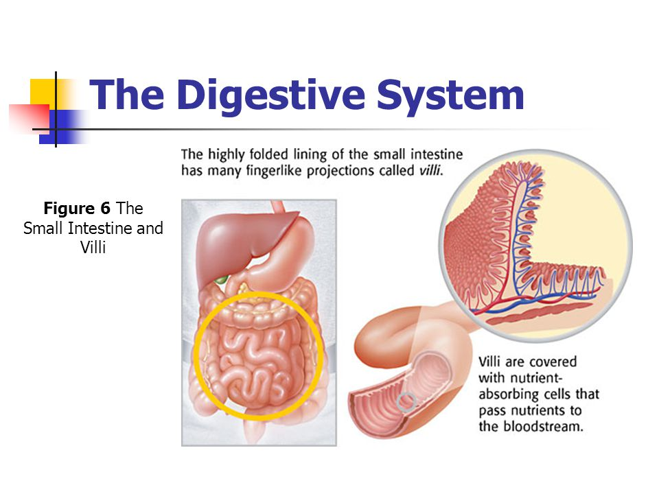 Figure 6 The Small Intestine and Villi