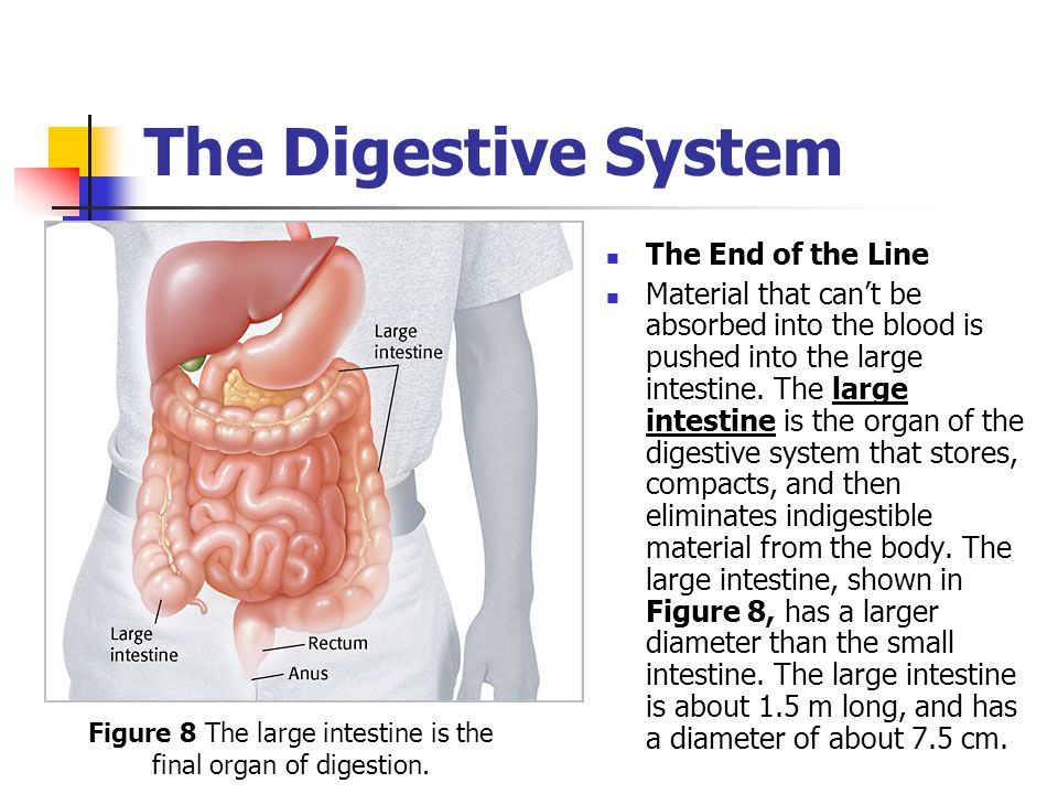 Figure 8 The large intestine is the final organ of digestion.