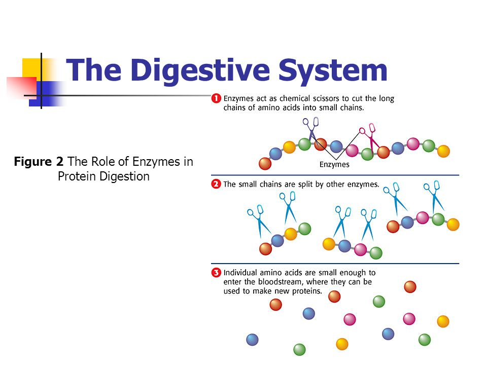 Figure 2 The Role of Enzymes in Protein Digestion