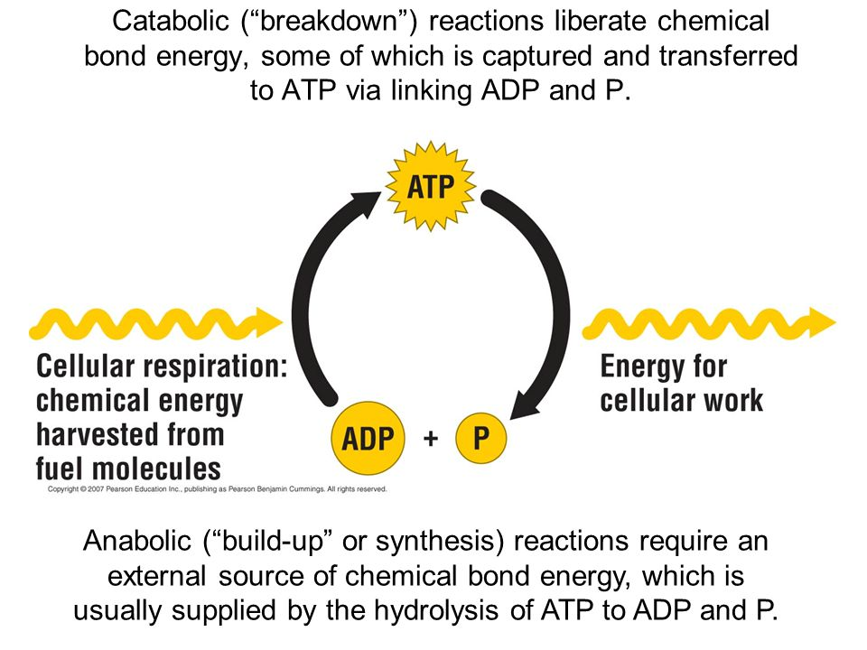 Catabolic ( breakdown ) reactions liberate chemical bond energy, some of which is captured and transferred to ATP via linking ADP and P.