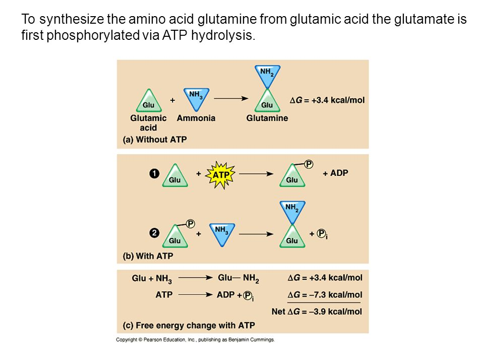 To synthesize the amino acid glutamine from glutamic acid the glutamate is first phosphorylated via ATP hydrolysis.