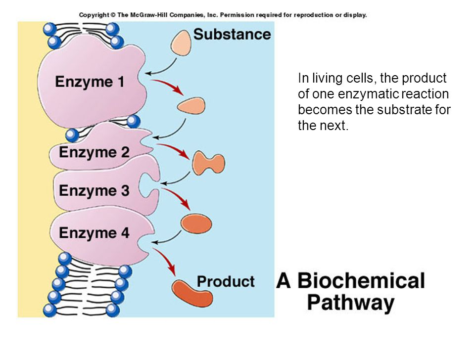 In living cells, the product of one enzymatic reaction becomes the substrate for the next.