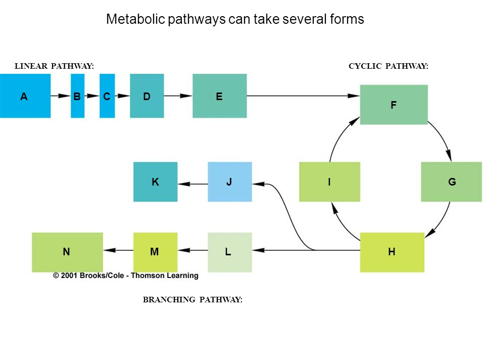 Metabolic pathways can take several forms