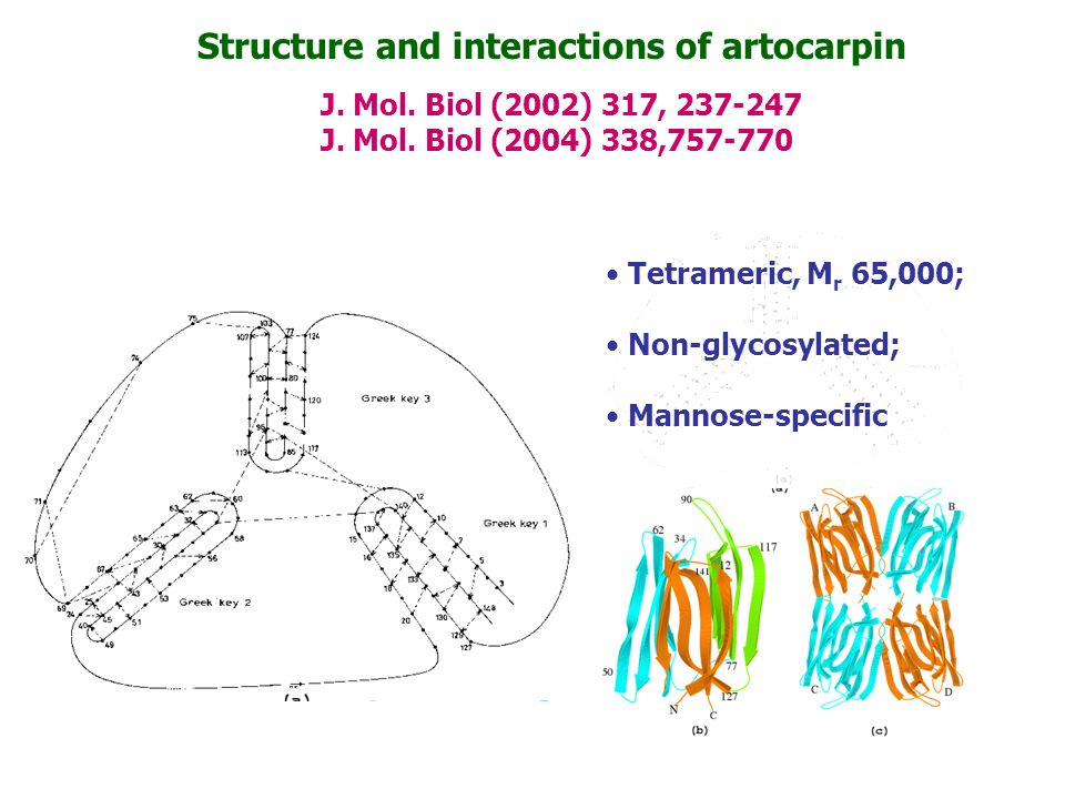 Structure and interactions of artocarpin