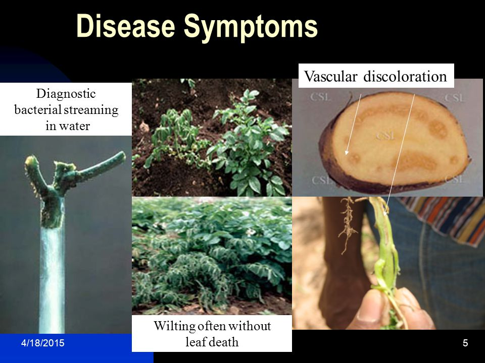 Disease Symptoms Vascular discoloration Diagnostic bacterial streaming