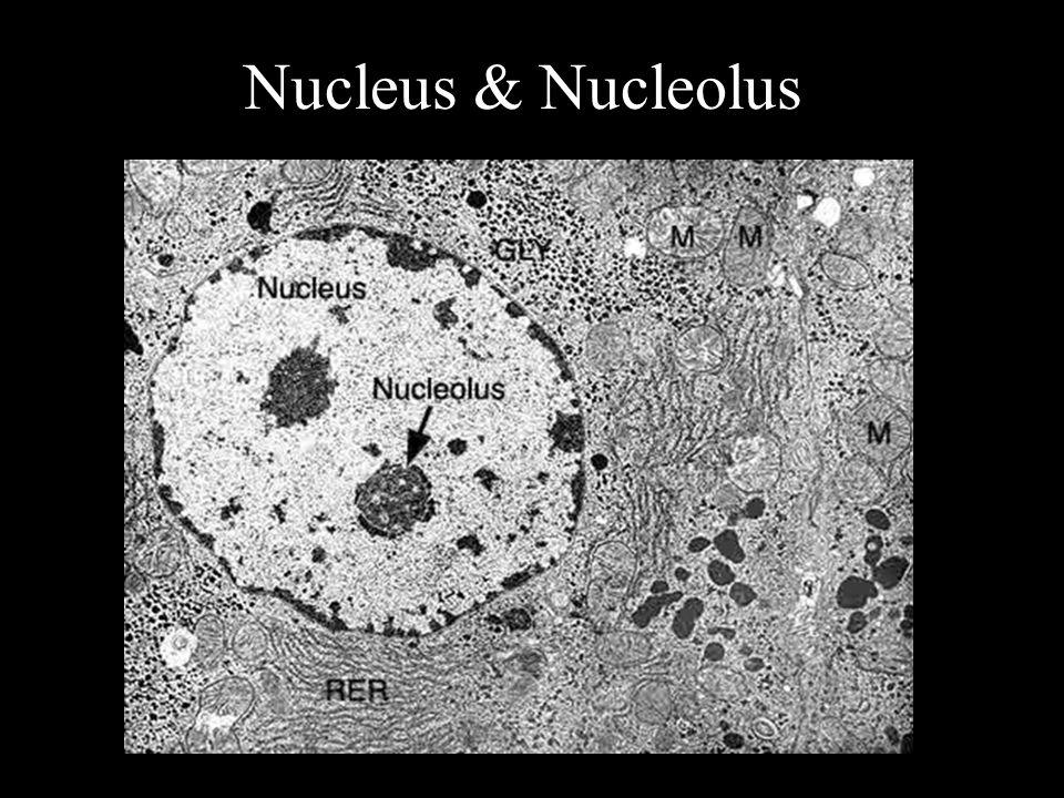 Nucleus & Nucleolus