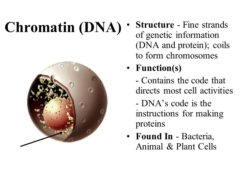 Chromatin (DNA) Structure - Fine strands of genetic information (DNA and protein); coils to form chromosomes.