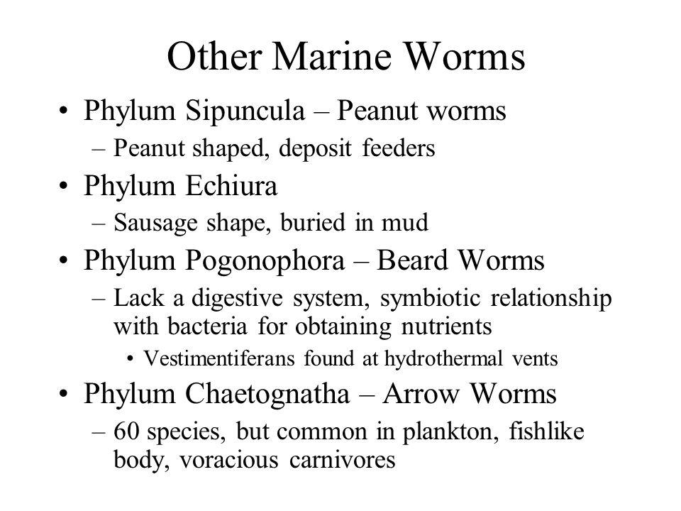 Other Marine Worms Phylum Sipuncula – Peanut worms Phylum Echiura