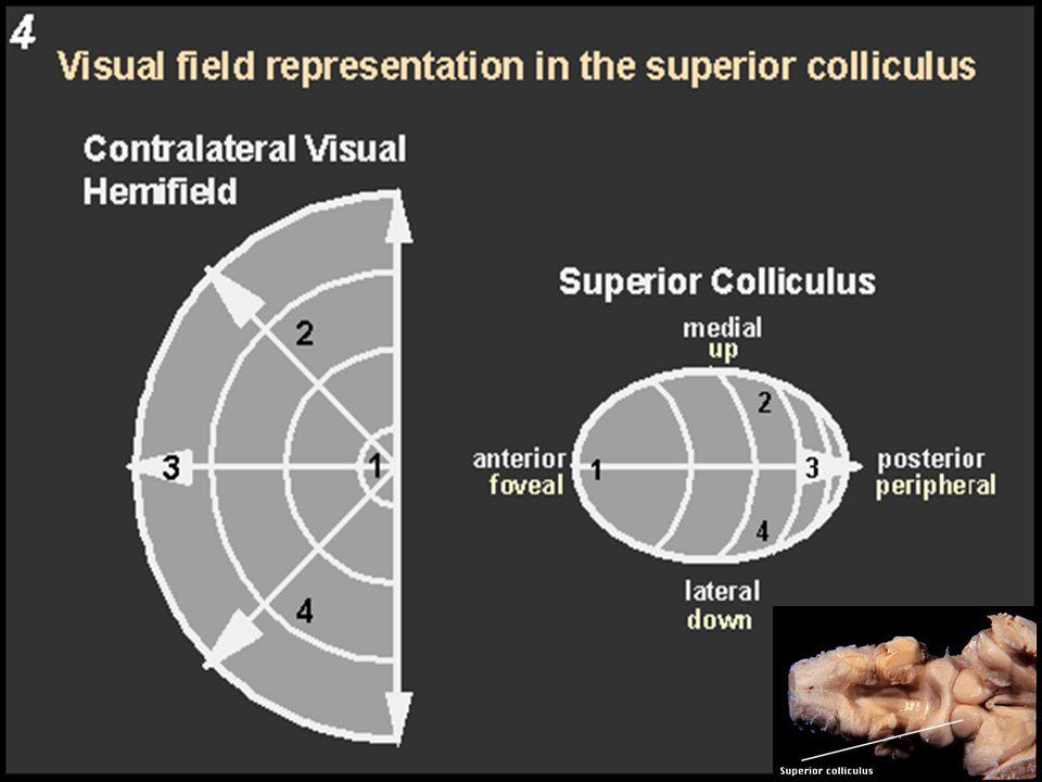 Superior colliculus Motor Responses