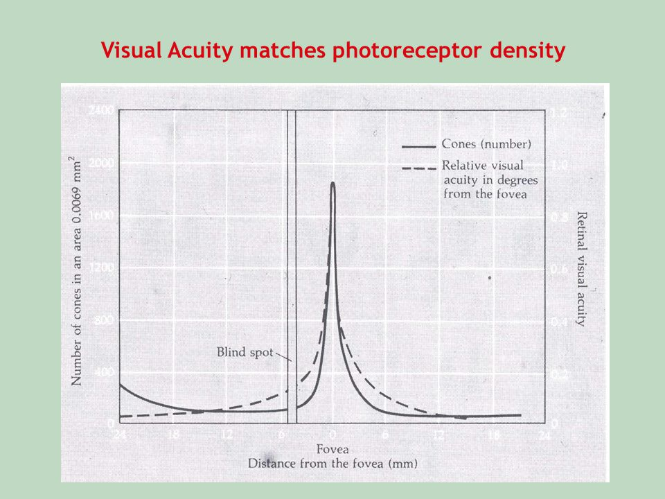 Visual Acuity matches photoreceptor density