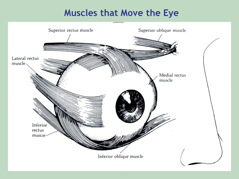 Muscles that Move the Eye