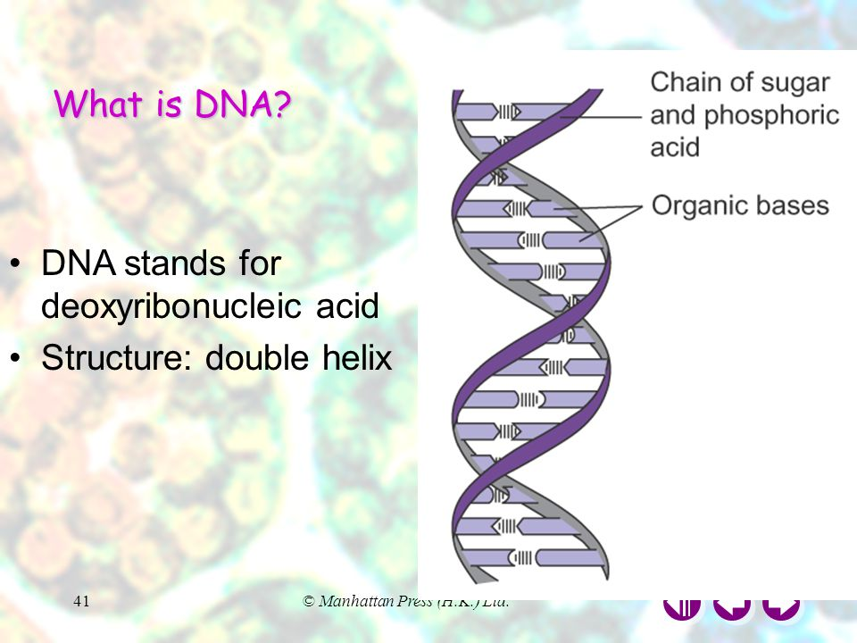 DNA stands for deoxyribonucleic acid Structure: double helix