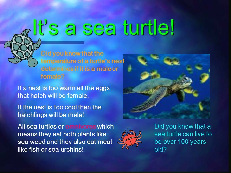It's a sea turtle! Did you know that the temperature of a turtle's nest determines if it is a male or female