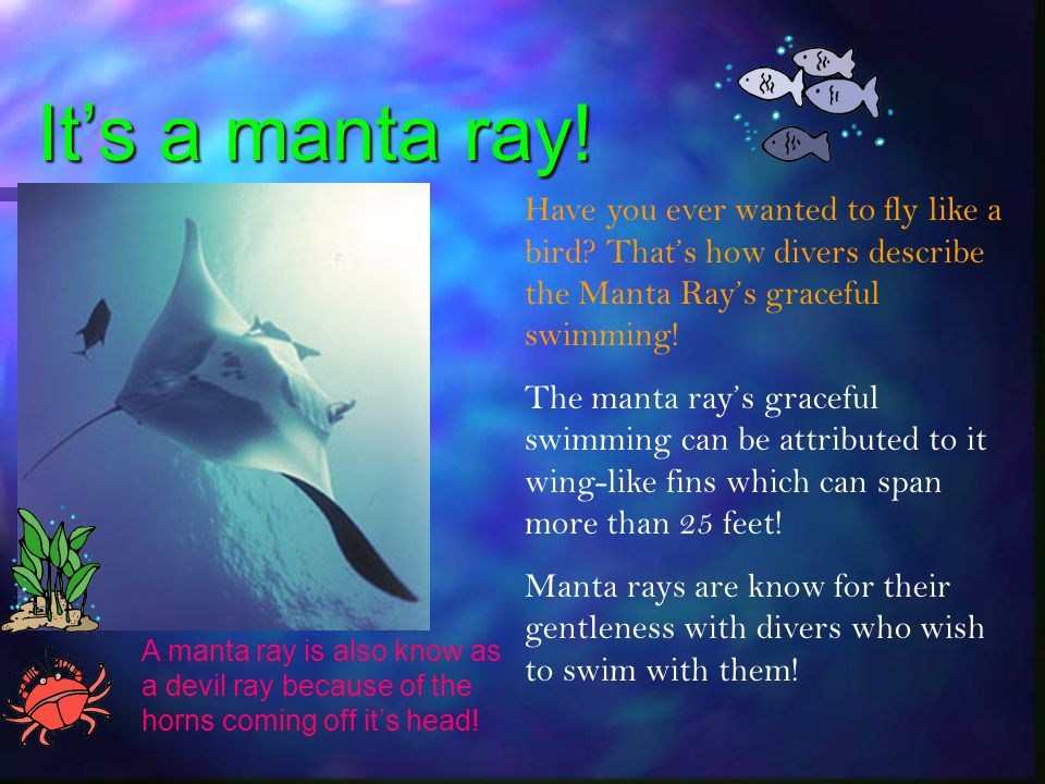 It's a manta ray! Have you ever wanted to fly like a bird That's how divers describe the Manta Ray's graceful swimming!