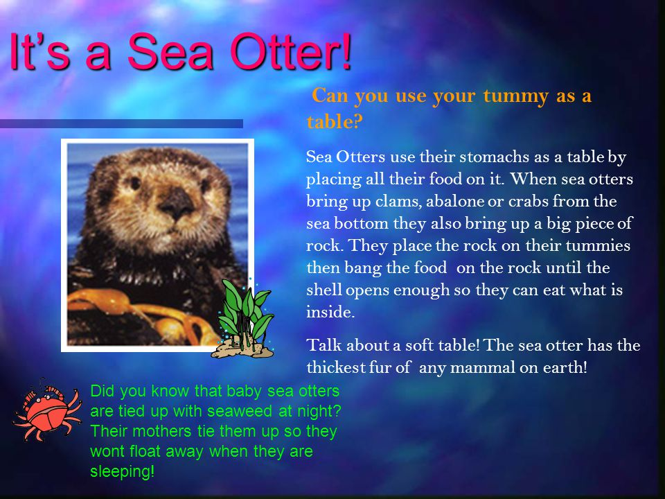 It's a Sea Otter! Can you use your tummy as a table
