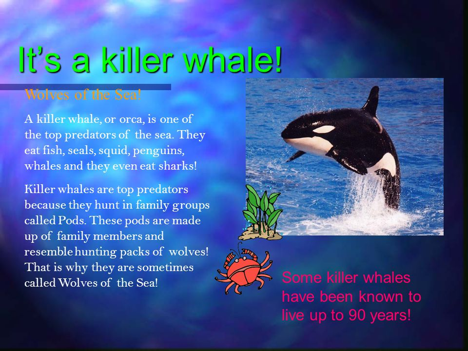 It's a killer whale! Wolves of the Sea!