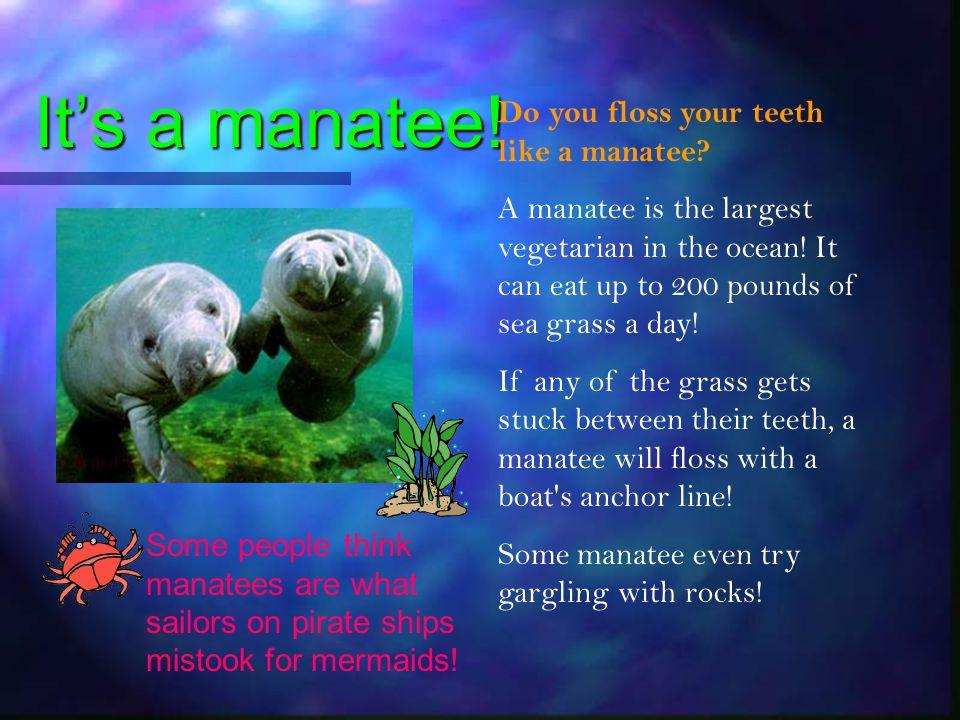 It's a manatee! Do you floss your teeth like a manatee