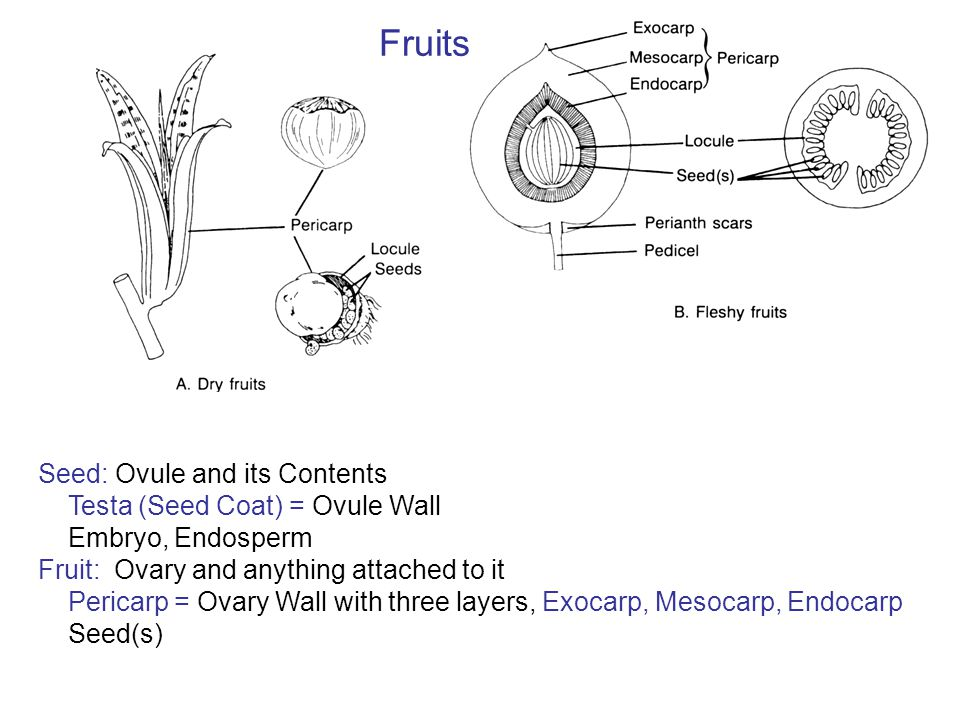 Fruits Seed: Ovule and its Contents Testa (Seed Coat) = Ovule Wall