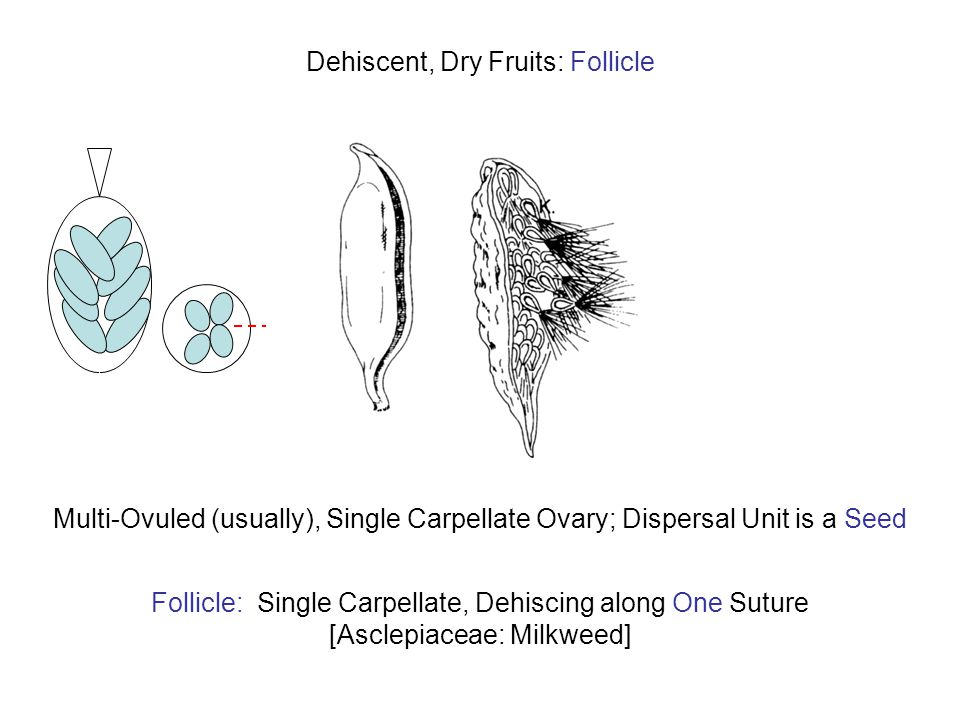 Dehiscent, Dry Fruits: Follicle