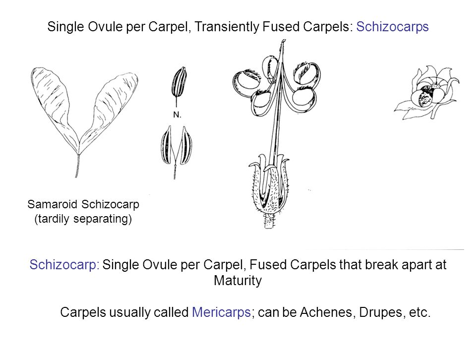 Single Ovule per Carpel, Transiently Fused Carpels: Schizocarps