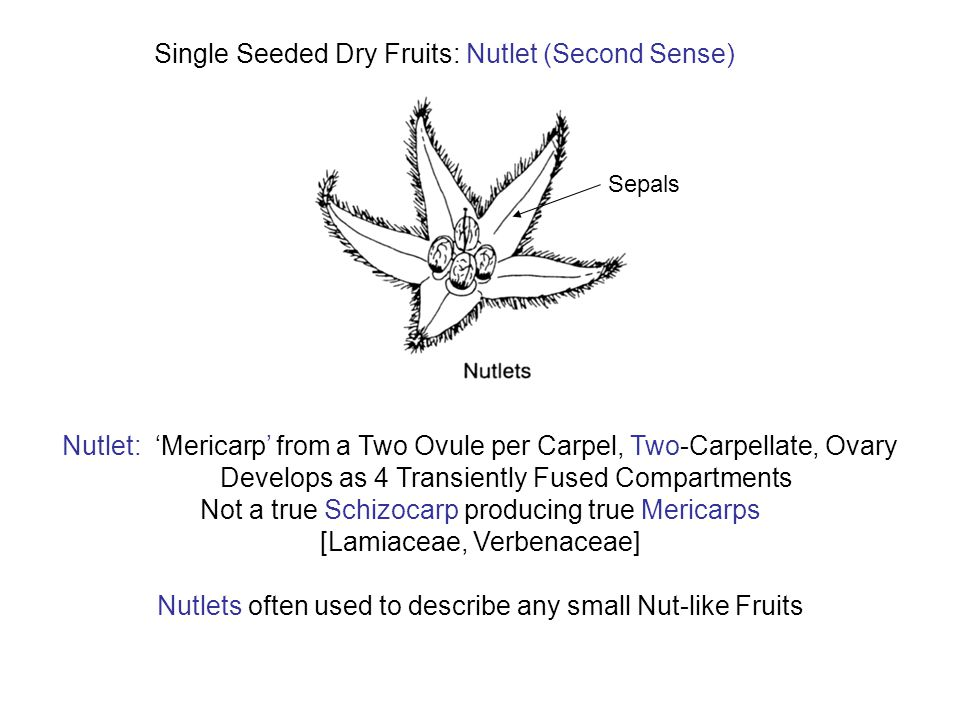 Single Seeded Dry Fruits: Nutlet (Second Sense)