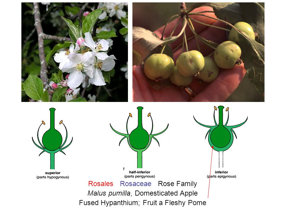 Rosales Rosaceae Rose Family Malus pumilla, Domesticated Apple