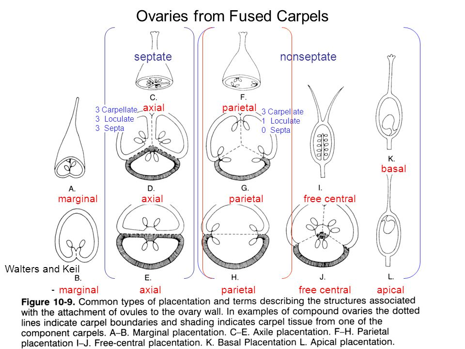 Ovaries from Fused Carpels