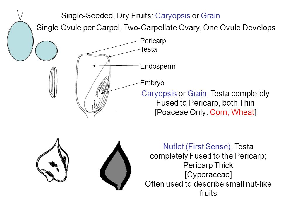 Single-Seeded, Dry Fruits: Caryopsis or Grain