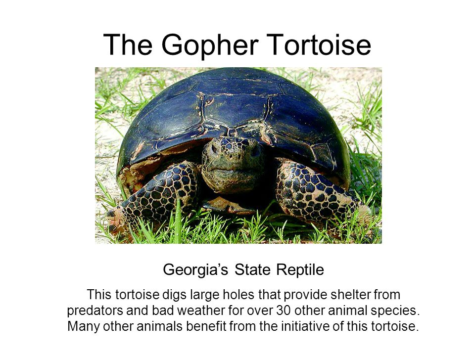 Georgia's State Reptile