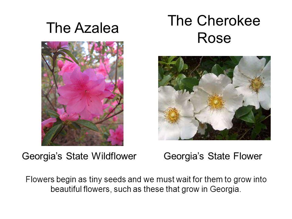 The Cherokee Rose The Azalea Georgia's State Wildflower