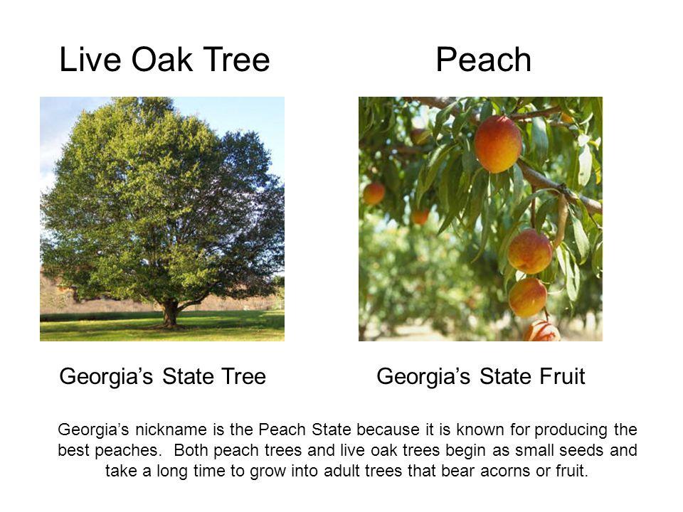 Live Oak Tree Peach Georgia's State Tree Georgia's State Fruit