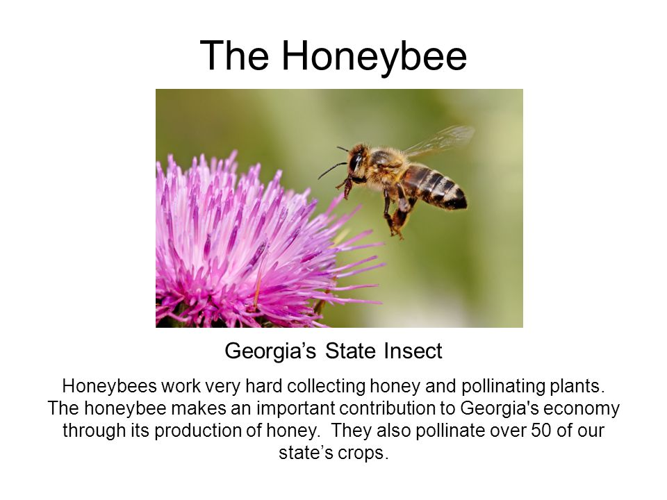 Georgia's State Insect