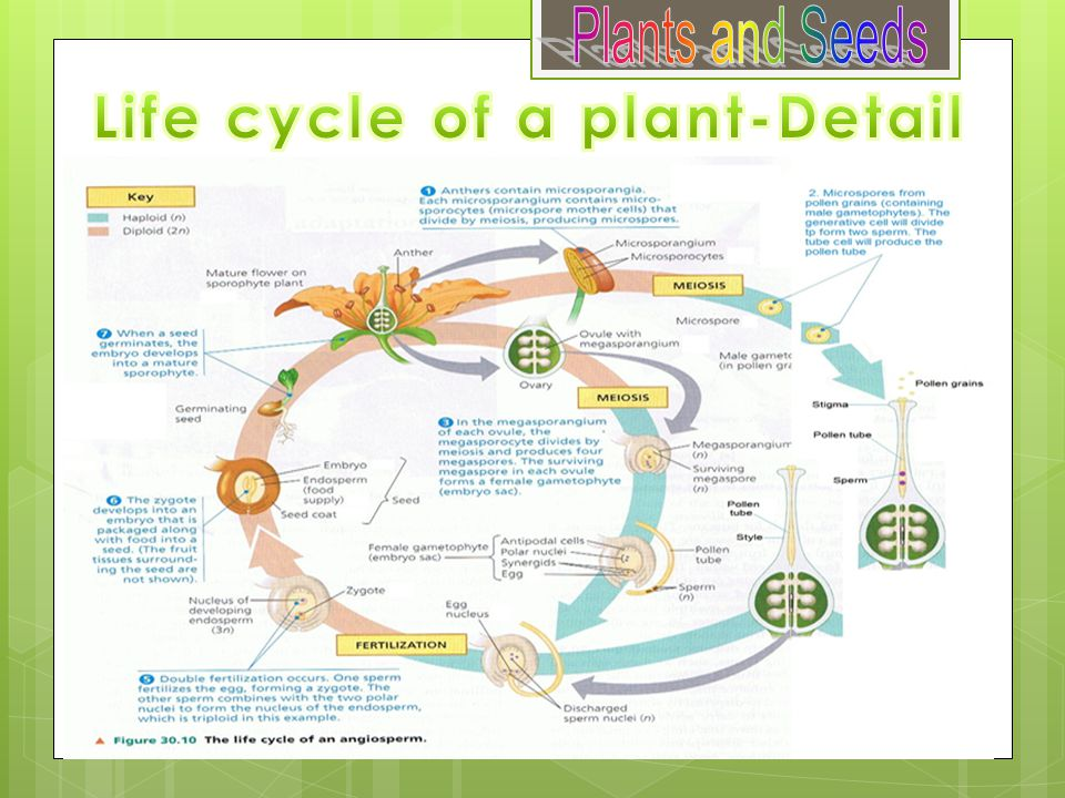 Life cycle of a plant-Detail