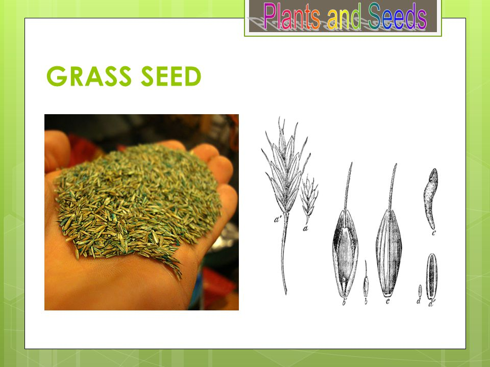 Plants and Seeds GRASS SEED