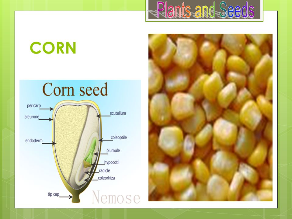 Plants and Seeds CORN