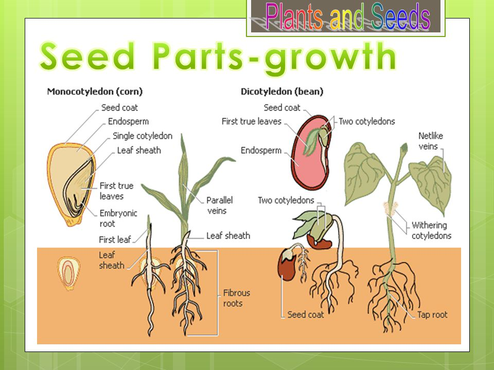 Plants and Seeds Seed Parts-growth