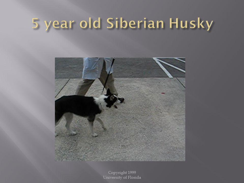 5 year old Siberian Husky