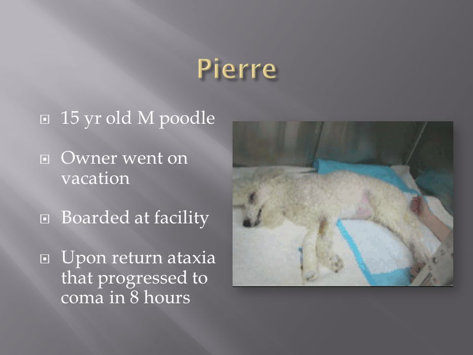 Pierre 15 yr old M poodle Owner went on vacation Boarded at facility
