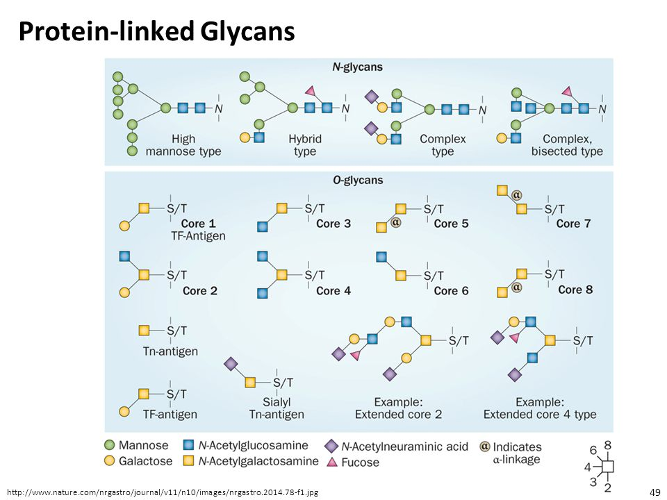 Protein-linked Glycans