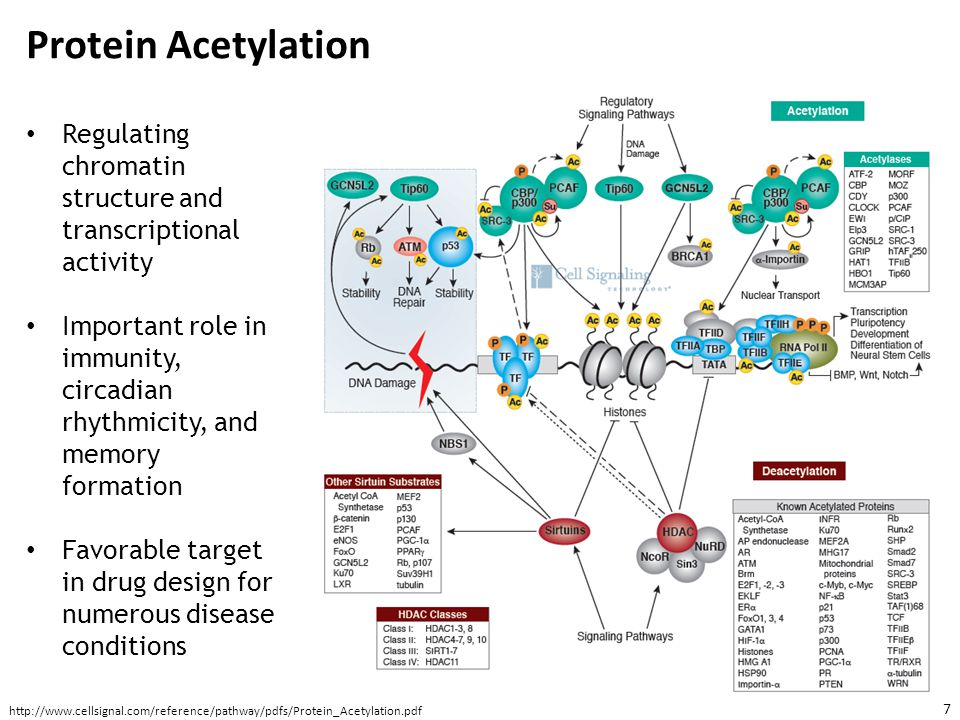 Protein Acetylation Regulating chromatin structure and transcriptional activity.